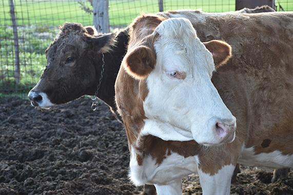 mucche pezzate rosse