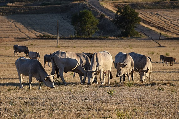 mucche podoliche