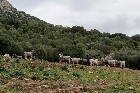 mucche podoliche al pascolo
