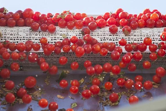 pomodoro ciliegino produzione passat